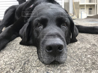 犬,寝顔,ラブラドール,黒ラブ