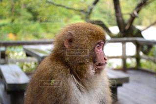 カメラを見て猿の写真・画像素材[783286]