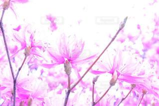 花,ピンク,ツツジ,ピンク色,pink,つつじ,上尾,十連寺