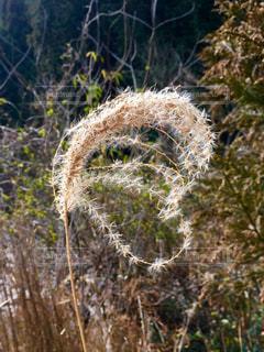 自然,秋,植物,景色,ハート型,ススキ,ハート
