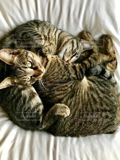 猫,動物,お部屋,部屋,室内,仲良し,サバトラ