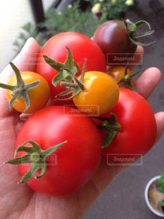 トマトの写真・画像素材[528058]