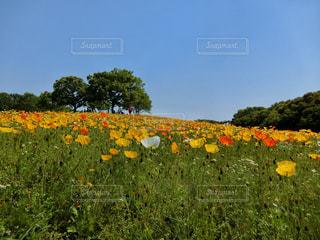 フィールド内の黄色の花の写真・画像素材[1158384]
