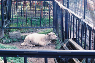 羊の写真・画像素材[714489]
