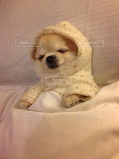 犬,チワワ,寝顔,癒し,可愛い,ロングコートチワワ,おやすみ