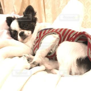 ベッドの上で横になっている小さな白い犬 - No.998920