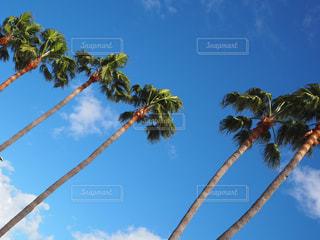 ヤシの木の写真・画像素材[1032441]