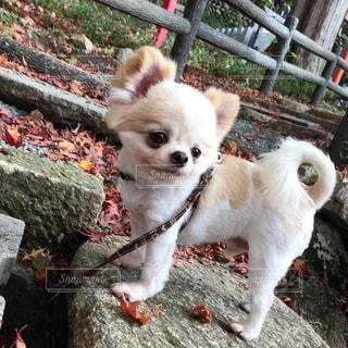 フェンスの横に小さな白い犬立っての写真・画像素材[1615451]