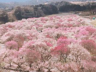 乾いた草のフィールドにピンクの花の写真・画像素材[1123775]
