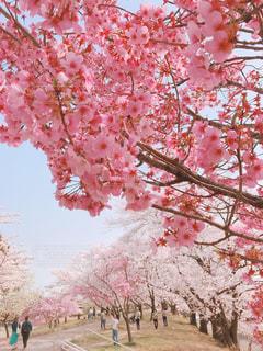 桜の写真・画像素材[1123787]