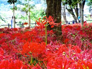 秋,赤い花,彼岸花,曼珠沙華,雨上がり,秋空,巾着田