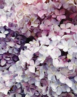 紫陽花の写真・画像素材[3408265]
