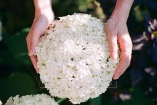 紫陽花の写真・画像素材[3408283]