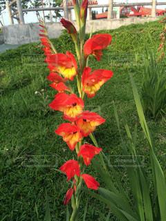 フィールドに赤い花の写真・画像素材[1178735]