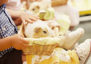 かわいい,茶色,手,子供,ペット,癒し,動物園,モルモット,ベージュ,ふれあいコーナー,ミルクティー色