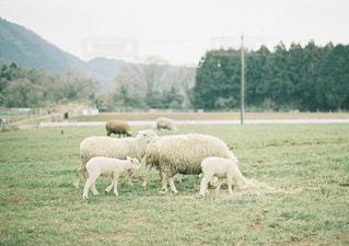 親子,散歩,羊,牧場,ひつじ,旅行,旅,ミルクティー,お出かけ,ミルクティー色