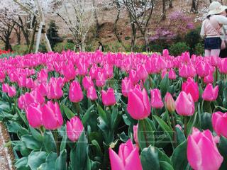 紫の花の束の写真・画像素材[1137242]