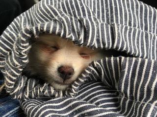 犬,ポメラニアン,女の子,クリーム,寝顔,愛犬,袋の中