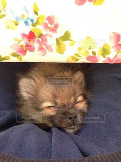 犬,ポメラニアン,茶色,女の子,寝顔,変顔,愛犬,ブサイク