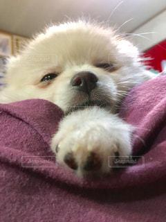 犬,ポメラニアン,白,女の子,クリーム,寝顔,愛犬