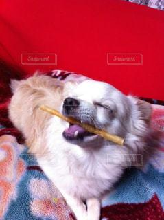 犬,チワワ,白,嬉しい,おいしい,愛犬,骨