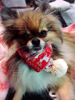赤い毛布を着ている犬の写真・画像素材[871569]
