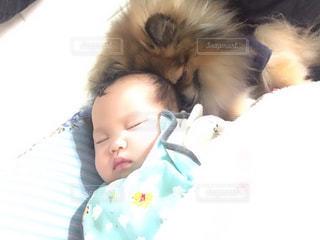 犬,動物,ポメラニアン,リビング,女の子,赤ちゃん,お昼寝,ベビー,わんちゃん