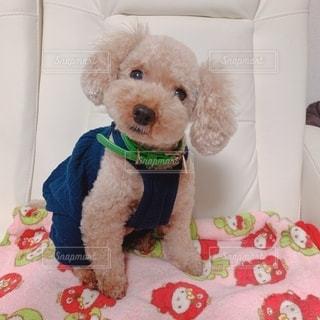 赤と白のテディベアを着た犬の写真・画像素材[2741999]