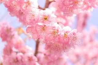 桜の写真・画像素材[1834499]