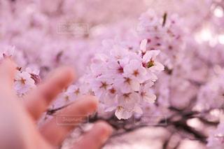 桜の写真・画像素材[1877453]