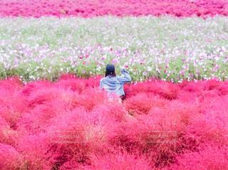 自然,花,秋,絶景,花畑,ピンク,赤,コスモス,旅行,コキア,ひたち海浜公園,茨城,コスモス畑