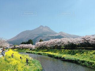 自然,花,桜,青空,菜の花,山,雄大,湯布院,由布岳,由布院