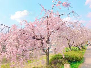 花,春,桜,木,花見,お花見,イベント,桜の花,さくら,ブロッサム