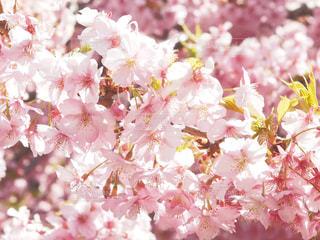 自然,風景,花,春,桜,ピンク,お花見,旅行,日本