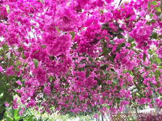自然,花,ピンク,緑,植物,ブーゲンビリア,西島園芸団地,PassMe