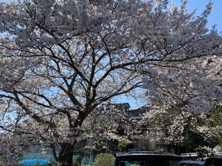 1人,空,花,春,屋外,花見,満開,樹木,草木,桜の花,日中,さくら,ブロッサム