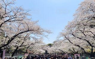 空,花,春,屋外,桜並木,樹木,人物,桜の花,日中,さくら