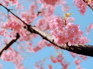 ピンクの花の木の写真・画像素材[1826605]