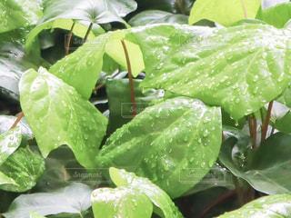 自然,雨,緑,植物,水,枝,葉っぱ,水滴,葉,草,新緑,水玉,玉,雫,初夏,梅雨,しずく,草木,マクロ,オカメヅル
