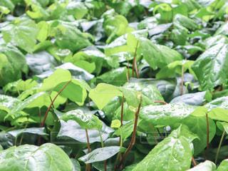自然,雨,緑,水,枝,葉っぱ,水滴,葉,草,新緑,水玉,玉,雫,初夏,梅雨,しずく,マクロ,オカメヅル