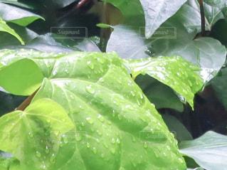 自然,雨,緑,植物,水,枝,葉っぱ,水滴,葉,草,新緑,水玉,玉,雫,初夏,梅雨,しずく,マクロ,オカメヅル