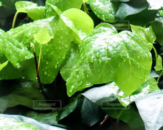 自然,雨,緑,水,枝,葉っぱ,葉,新緑,茎,水玉,雫,初夏,梅雨,小雨,しずく,草木,マクロ,オカメヅル