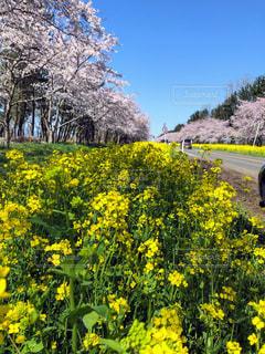花,桜,屋外,菜の花,景色,樹木,草木