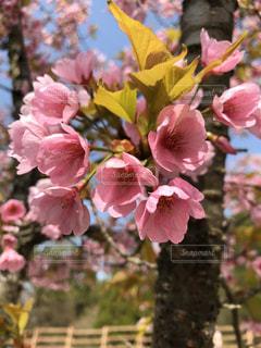 公園,春,桜