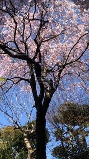 空,公園,花,春,屋外,青い空,樹木,草木,桜の花,さくら,ブロッサム
