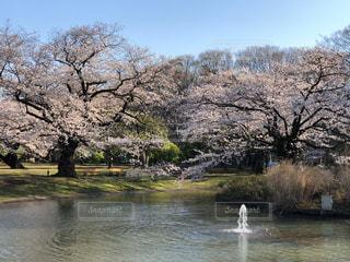自然,空,花,春,屋外,湖,水面,池,樹木,草木,日中,さくら,ブロッサム
