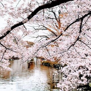 自然,花,春,屋外,湖,水面,水辺,景色,樹木,桜の花,さくら,ブロッサム