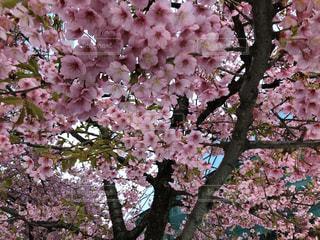 ピンクの花を持つ木の写真・画像素材[3044431]
