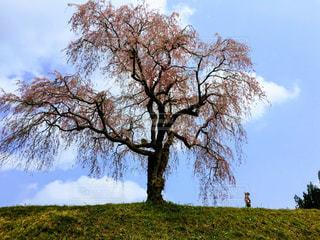 自然,風景,空,桜,屋外,草原,牧場,景色,草,大地,新緑,草木,日中,クラウド,山腹