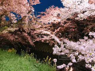 自然,春,桜,花見,夜桜,川沿い,五条川,岩倉